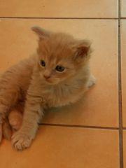 Wundervolle Maine coon Kitten noch