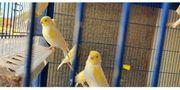 Kanarienvögel Gelb Mosaik