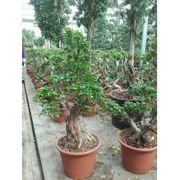 Ficus Microcarpa ginseng - Bonsai art78559