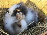 Reinrassige sehr zutrauliche Teddyzwerge Kaninchen