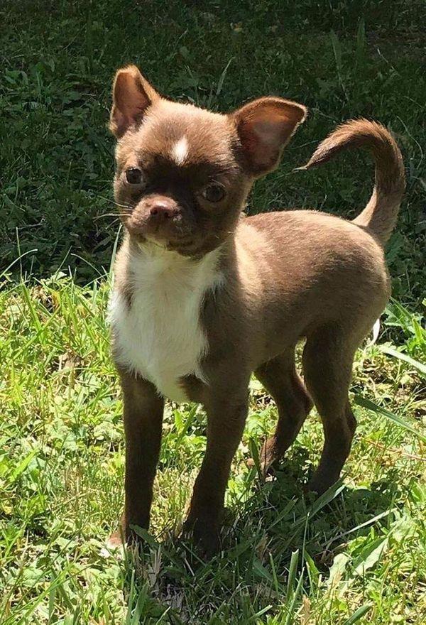Chihuahua Rüde Kurzhaar
