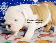 Englische Bulldogge zum Verkauf fgh