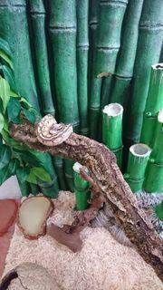 Ball python 1 Jahr