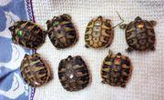 Thb Grichische Landschildkröten Babys mit