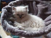 Süße reinrassige Ragdoll Kitten ab