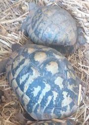 Paar griechische Landschildkröten