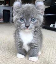Suche BKH Baby Katze