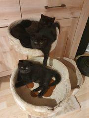 norwegische waldkatze Mischling zu verkaufen