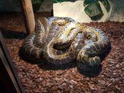 Gelbe anakondas