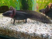 Axolotl 3er Gruppe 18 19