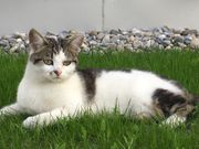 Vermisst - weiße getigerte Katze Dornbirn