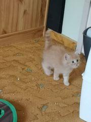 Kitten Ragdoll-Siam-Mix