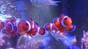 Clownfische - Anemonenfische - Amphiprion ocellaris