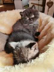 Süße BKH Kitten suchen neues