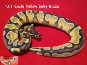 0 1 Enchi YB Blaze
