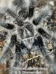 Div Vogelspinnen abzugeben