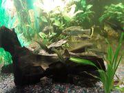 FischeFische