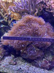 Euphyllia Froschlaich LPS Koralle