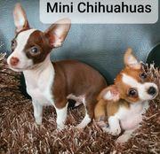 Süsse Mini Chihuahua