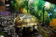 Dreikielschildkröte Wasserschildkröte