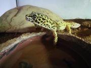 Leopardgecko männlich 3 5 Jahre