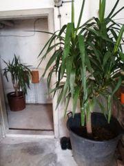 Yucca Palme 190cm und 120cm