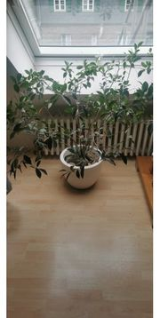 Zimmerpflanze inkl Topf