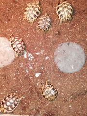 Griechische Landschildkröten THB und Breitrand