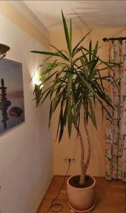 Yucca Palme Pflanze Zimmerpflanze
