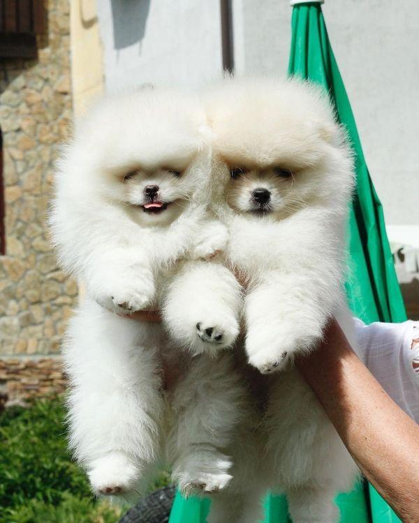 Zwergspitz Pomeranian Welpe In Berlin Hunde Kaufen Und Verkaufen Uber Private Kleinanzeigen