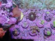 Günstige Korallenableger Meerwasser Scheiben Zoa