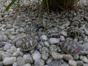Griechische Landschildkröten THB NZ 2021