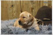 Labrador Welpen abzugeben