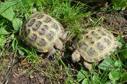 Russische Landschildkröten Vierzehenschildkröten von 2017 -