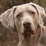 Rosco - Weimaraner - 9 Jahre - Tierhilfe