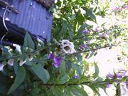 Tolle Pfingstgrüße mit tollen Fingerhutpflanzen -