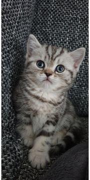Zuckersüße BKH Kitten Reinrassig