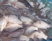 Fische Karauschen Giebel Karpfen Schleien
