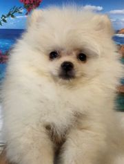 Pomeranian Rüde Weiß