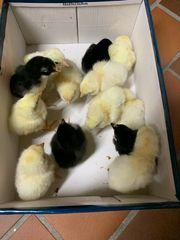 Hühner Küken 3 Wochen alt