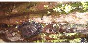 Moschus-schildkröten