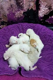 Bildschöne Angora Kitten
