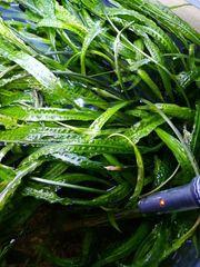 Wasserpflanzen Hammerschlag etc