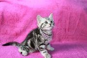 Britisch Kurzhaar Whiskas Katzen Mädchen