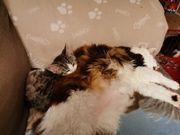 suche Kitten als Gesellschaft