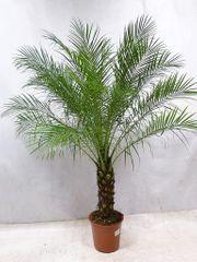 Indoor Palme