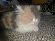 Perserdame Kitten Schönheit