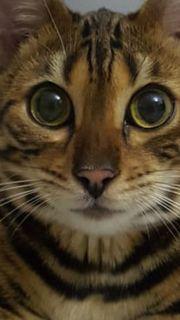 Bengal Kitten reinrassig noch Kater