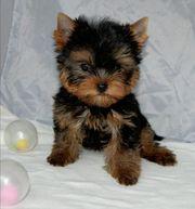 Yorkshire Terrier Junge