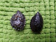 Gewöhnliche Moschusschildkröten Sternotherus odoratus